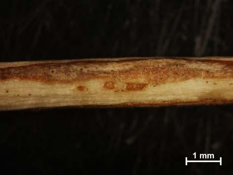Canadian Journal of Forest Research, 24, 6: 1107 1111 Stanosz G.R. 1994b. Sugar maple anthracnose caused by Discula campestris in Wisconsin. Plant Disease, 78: 1217 Ogris N., Sinjur I.